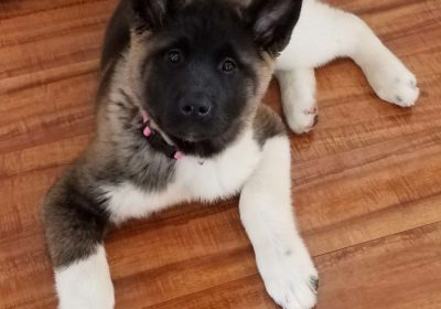 #Akita #puppytraining #Pottsgrove