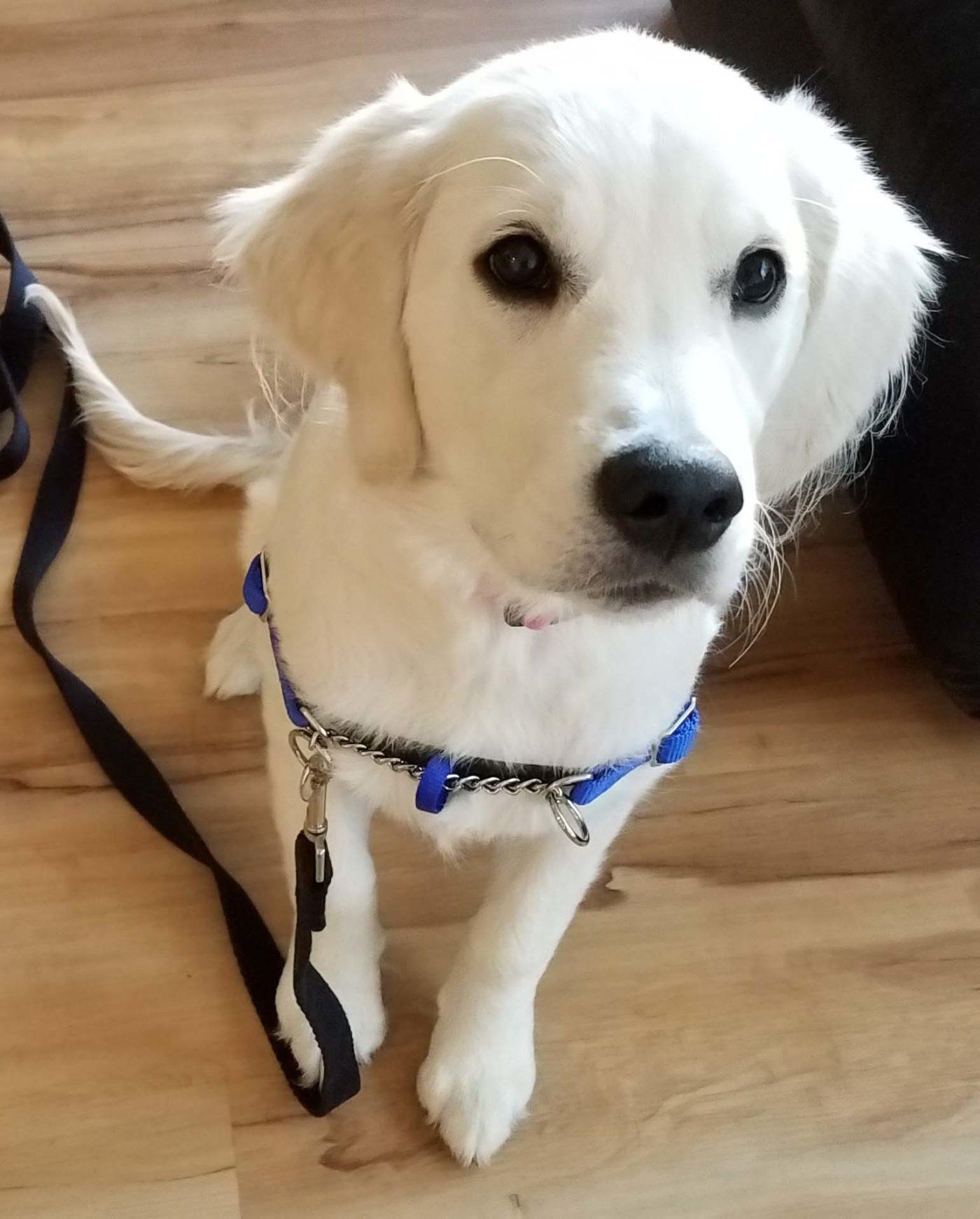 #puppytraining #golden #retriever #Royersford