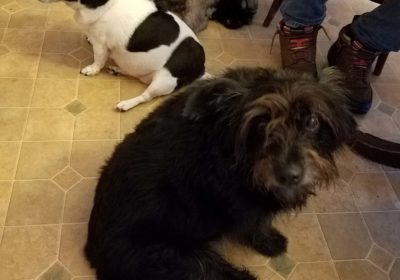#dogtraining #bouvier #trooper