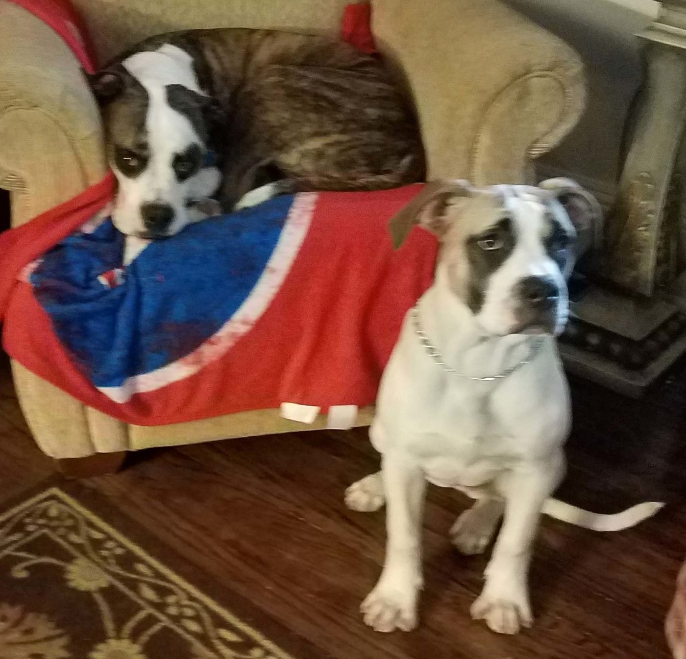 #americanbulldog #newsibings #dogtraining #norristown