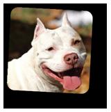 #pitbull #whitedogsmiling
