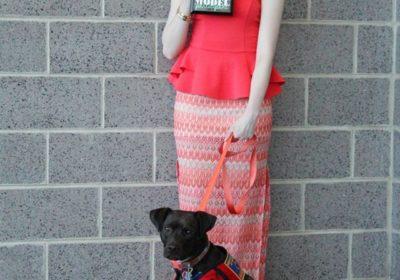 #servicedog #daisy