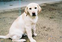 #labrador #puppy #barkbusters