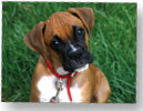 #boxer #puppy #barkbusters