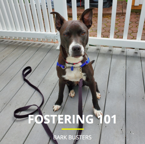 How to Foster a Dog